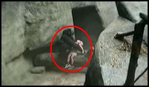 Criança sendo salva por uma gorila